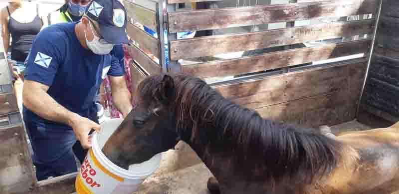 Égua foi alimentada antes de ser levada ao abrigo Menino Vaqueiro, onde será avaliada por um veterinário. Foto: Leábem Monteiro/ SVM