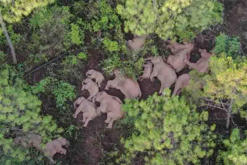 Como manter em segurança os elefantes errantes da China?