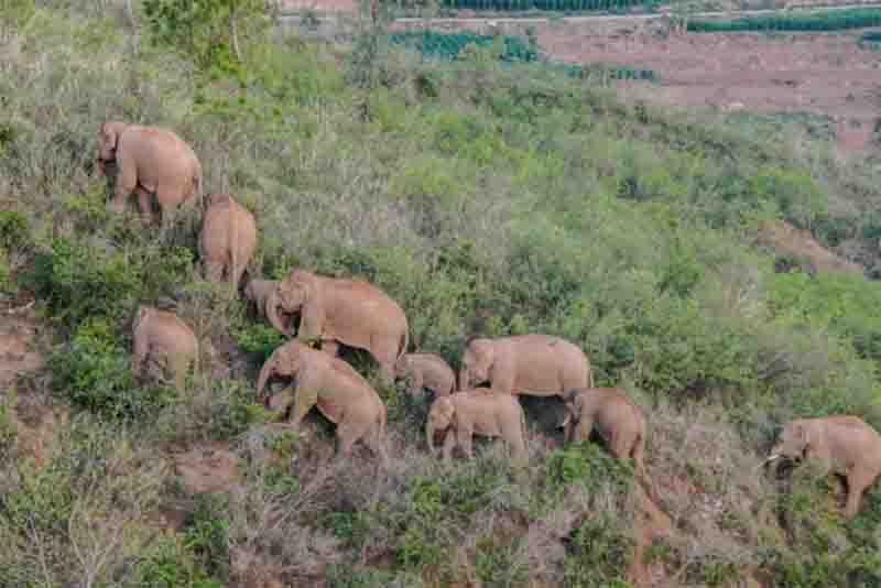 Os elefantes, que nesta imagem estão a percorrer Yuxi em junho, chamaram a atenção do país porque destruíram plantações, vaguearam por aldeias e estão a aproximar-se de uma grande cidade. Fotografia de Hu Chao Xinhua, Redux