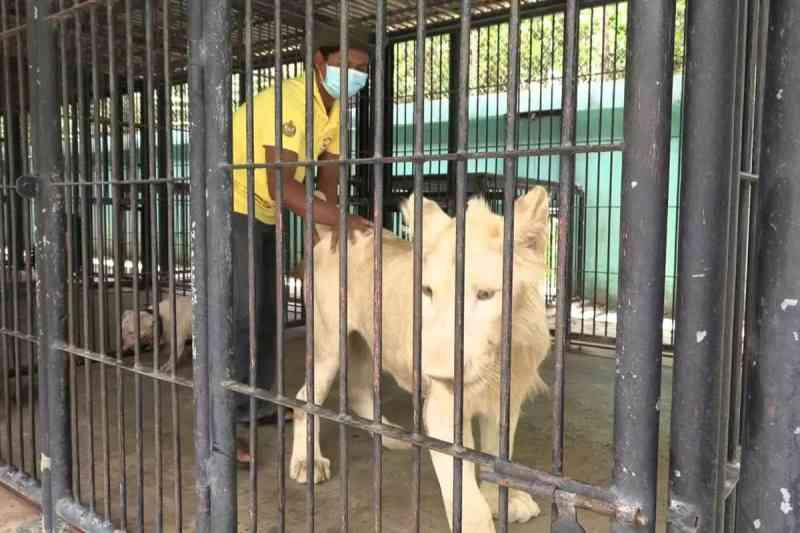 Vergonhoso: leão de estimação volta ao tutor após interferência de primeiro-ministro no Camboja
