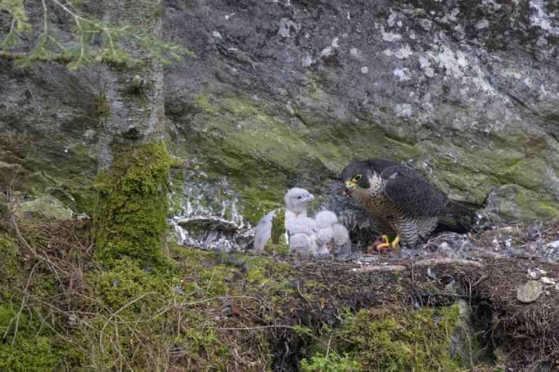 Onda de calor extremo faz bebês falcões abandonarem ninhos nos EUA