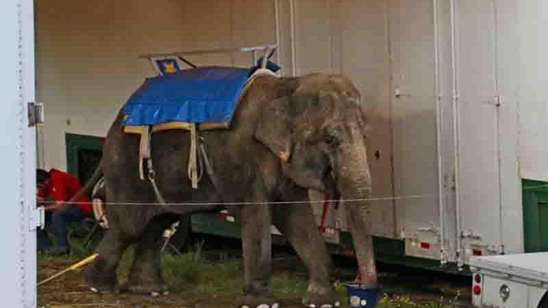 Minnie é o último elefante que resta no Zoo Commerford, um zoo ambulante. Os outros dois elefantes deste zoológico, Beulah e Karen, morreram em 2019 depois de lutarem contra doenças prolongadas. Foto: GIGI GLENDINNING