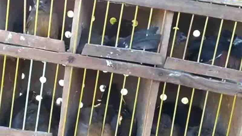 PRF encontra mais de 100 pássaros exóticos no bagageiro de um ônibus, em Goiás. Foto: Divugação/PRF