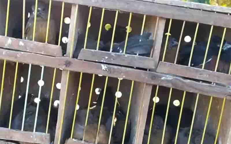 PRF encontra mais de 100 pássaros transportados dentro do bagageiro de ônibus na BR-153, em Porangatu, GO; vídeo