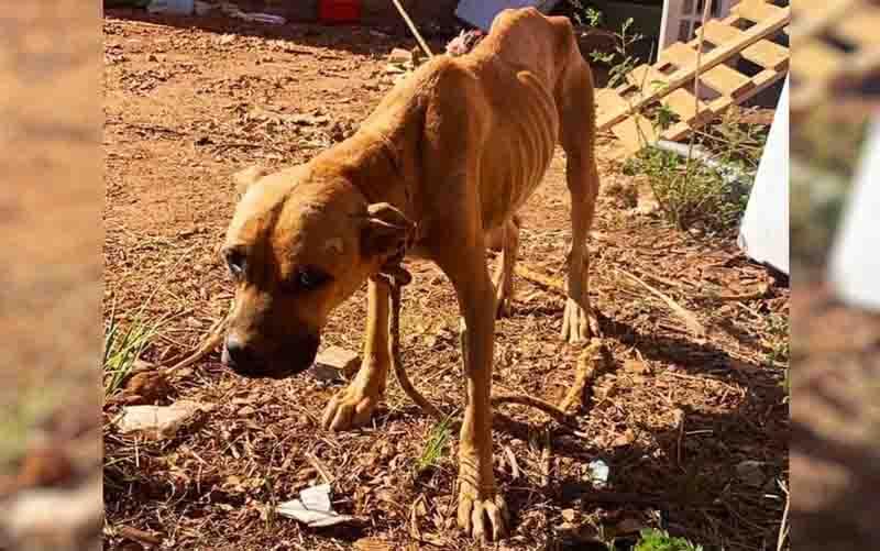 Homem que amarrava cães sob o sol sem água e comida é preso em Goiânia, GO