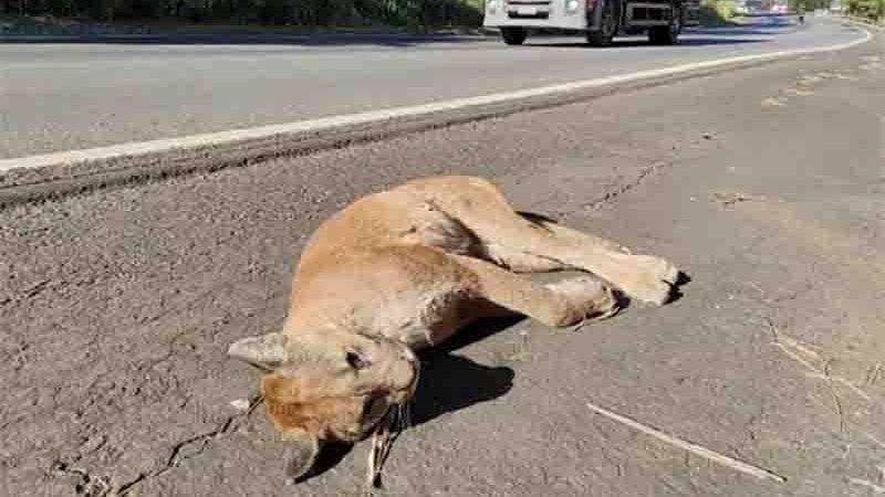 Onça suçuarana fêmea jovem é encontrada morta na BR-060. Foto: Reprodução/TV Anhanguera