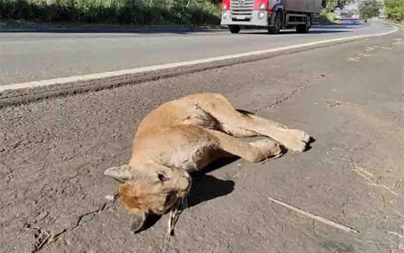 Onça é encontrada morta no acostamento da BR-060, em Goiânia, GO