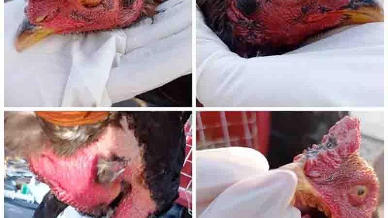 Galos feridos e depenados eram usados em rinhas. Foto: Polícia Militar/Divulgação