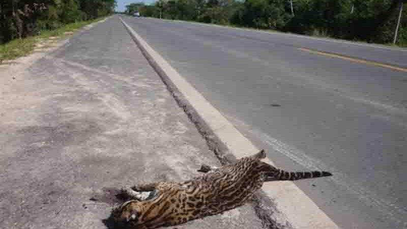 Jaguatirica encontrada morta ao longo da BR-262, em Mato Grosso do Sul. Foto: Ronaldo Balla/TV Morena