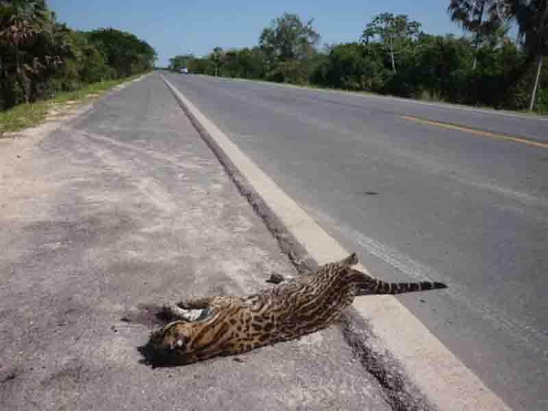 Com cerca de 50 mortes de animais em estradas por mês, Governo do MS propõe ações para reduzir número
