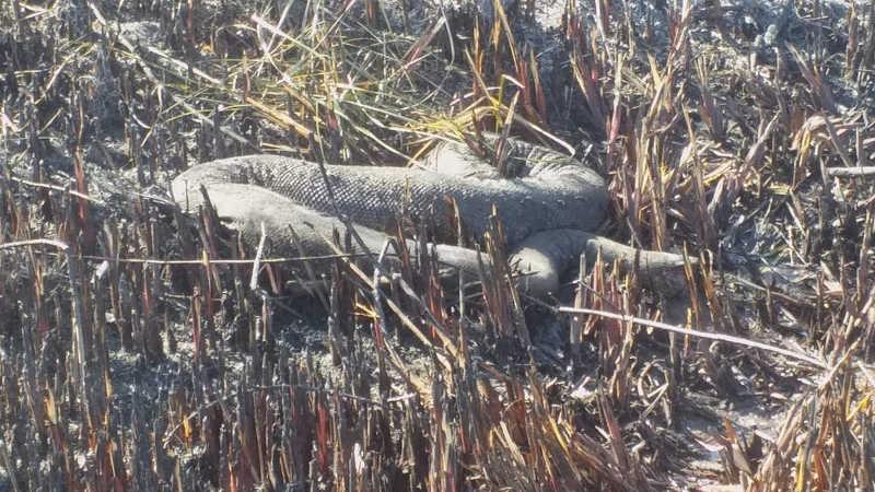 Fogo em Bonito (MS) se desloca após 4 dias e deixa rastro de mortes, uma delas de sucuri de 5 metros: 'Lamentável'