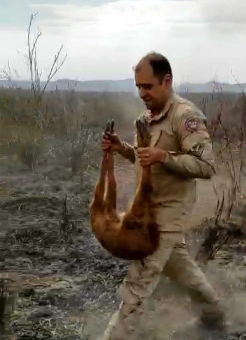 Momento em que o cervo é recuperado e levado para outro ambiente em MS — Foto: Corpo de Bombeiros/Divulgação