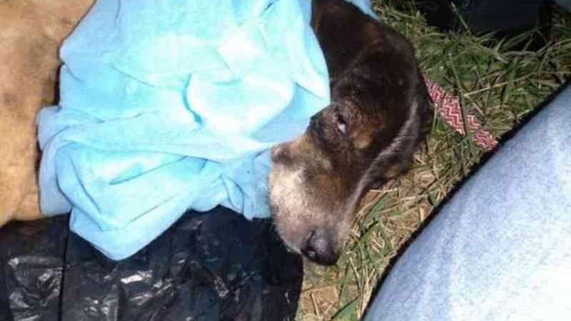 Cachorro foi transferido para Campo Grande por melhores cuidados - Crédito: Alvorada Informa