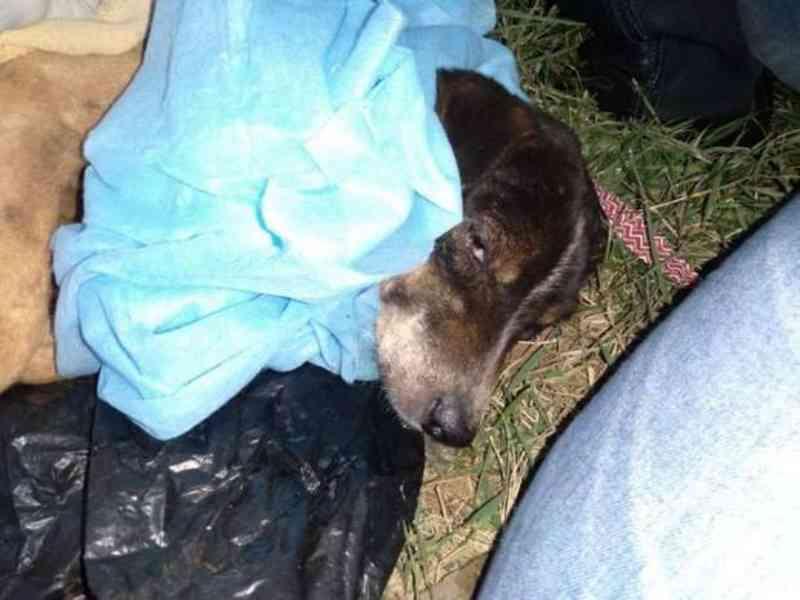 Covardia: cachorro tem órgão genital mutilado por homem quando cruzava com cadela em MS