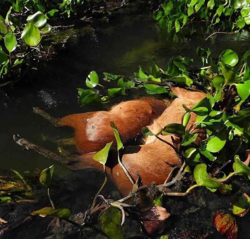Corpos de cervos boiando em rio. — Foto: Valtemir Mendes/Arquivo Pessoal