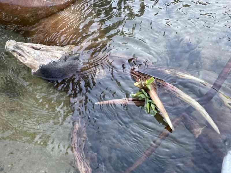 Cervos foram avaliados pela PMA após serem flagrados no Rio Salobra (MS) — Foto: Gerson Prata/Arquivo Pessoal