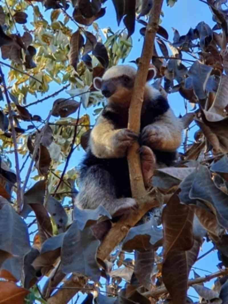 Grupo de resgate de animais salva tamanduá-mirim de área de incêndio em MS