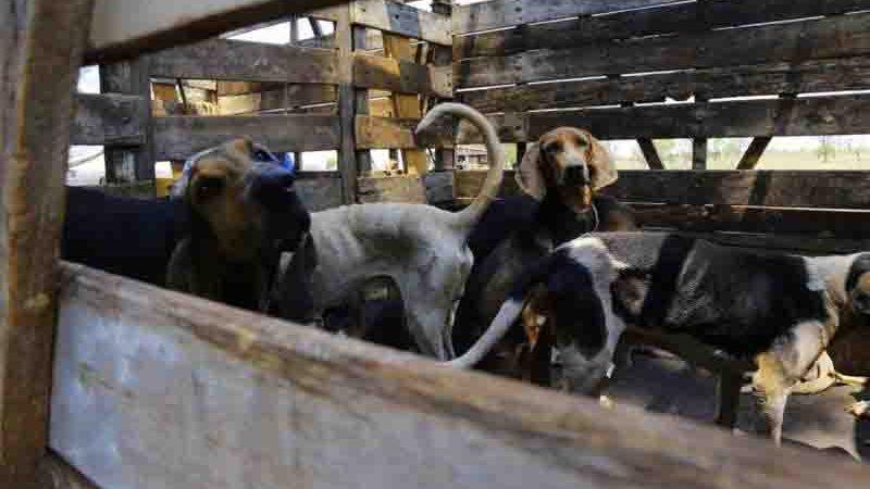 40 cães de caça foram resgatados pela ONG, CCZ e Decat. Foto: Marcos Ermínio/ Arquivo Midiamax