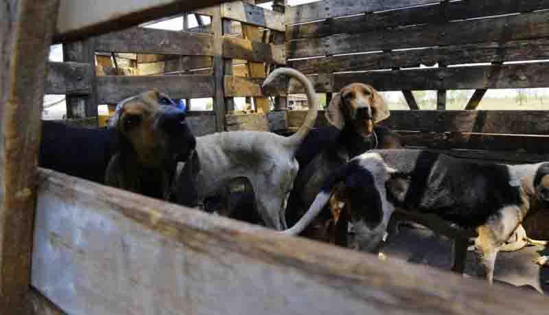 Cães 'de caça' resgatados em fazenda são castrados após quase 2 anos de luta judicial em MS