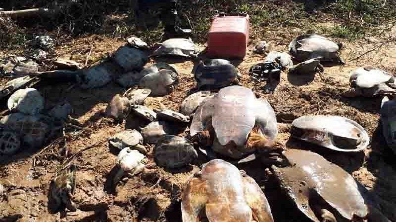 Apreensão de tartarugas. Créditos: Assessoria