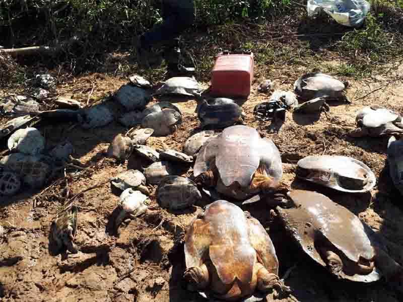 Estado flagra caça ilegal e devolve 250 tartarugas para a natureza em MT; veja vídeo
