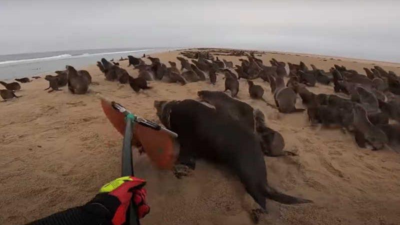Resgate de lobos-marinhos na Namíbia pela OCN - OCEAN CONSERVATION NAMIBIA.