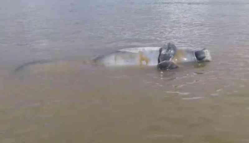 Polícia investiga caso de peixe-boi morto com marca de tiro no Pará