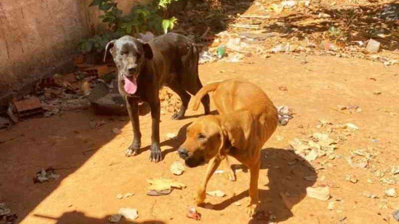 Cachorros abandonados em Formosa. Foto: Divulgação/ PCGO
