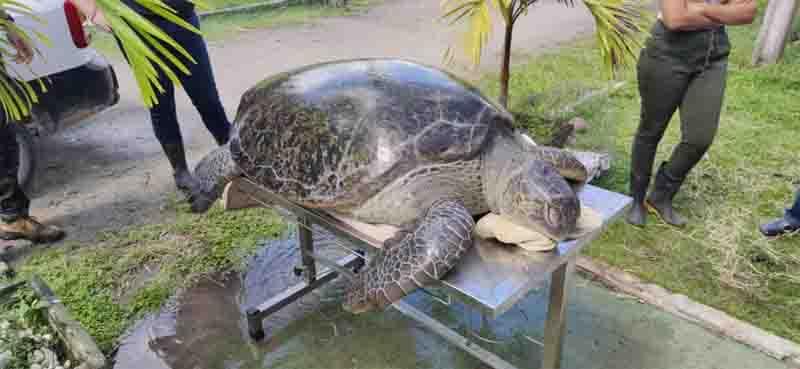 Tartaruga de cerca de 200 quilos encalhou e foi resgatada em Itamaracá, no Grande Recife. Foto: Cipoma/Divulgação