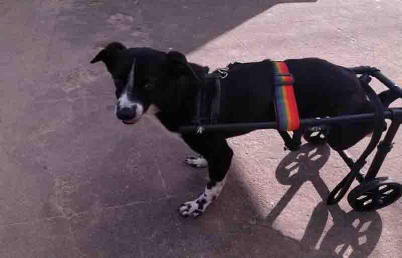 Cão com paralisia ganha cadeira de rodas e um novo lar em Olinda, PE