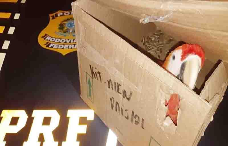 Arara-vermelha é resgatada em caixa de papelão dentro de veículo no sertão de PE
