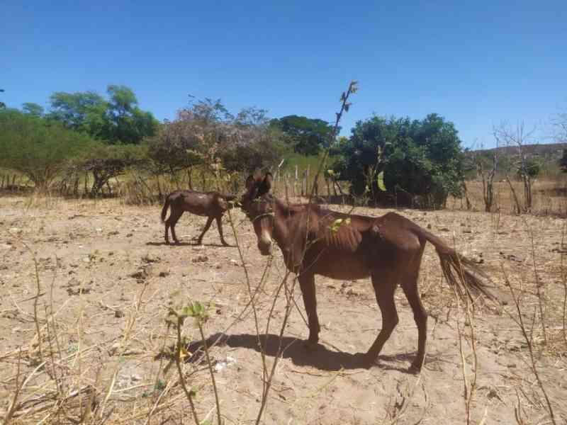 Polícia Civil investiga denúncia de burros feridos transportando sacas de areia em Francisco Santos