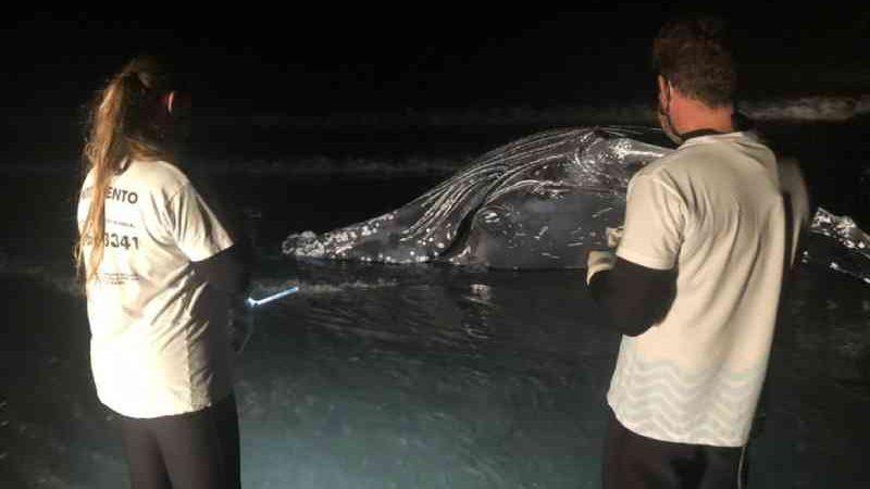 Animal encontrado na segunda-feira (27) foi a sexta baleia encalhada em três meses no litoral do Paraná. — Foto: Divulgação/CEM-UFPR