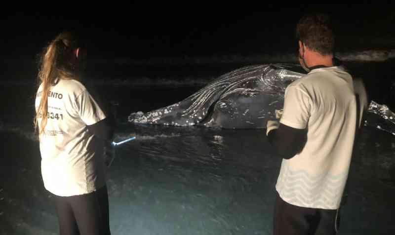 Baleia-jubarte com rede de pesca presa na cabeça morre encalhada em Guaratuba, PR