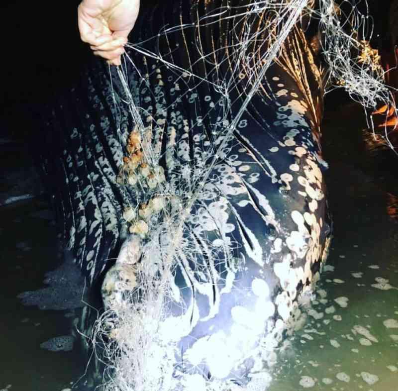 Pesquisadores encontraram uma rede de pesca presa na cabeça da baleia. — Foto: Divulgação/CEM-UFPR