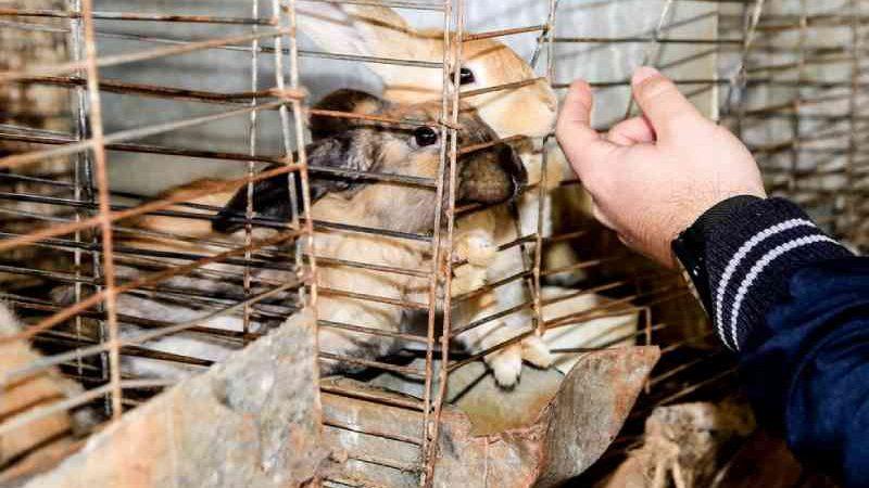 Coelhos estavam presos em gaiolas. — Foto: Prefeitura de Maringá