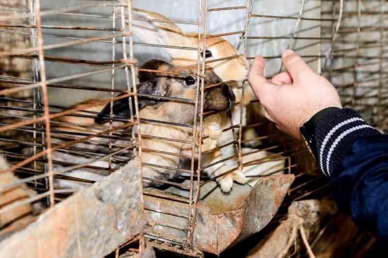 Fiscais apreendem 276 coelhos em situação de maus-tratos, em Maringá, PR; multa pode passar de R$ 500 mil