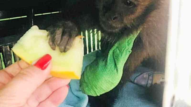 Macaco teve ferimento em uma das mãos. — Foto: IAT/Divulgação