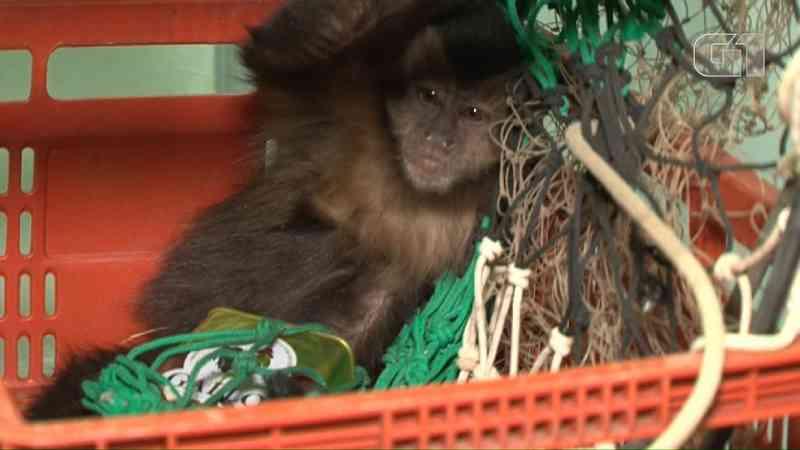 Macaco foi resgatado com lata no braço — Foto: Wilson Del Passo/RPC