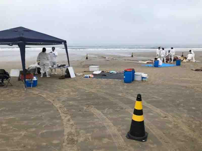 Baleia-jubarte é encontrada morta em Balneário Shangrilá, PR