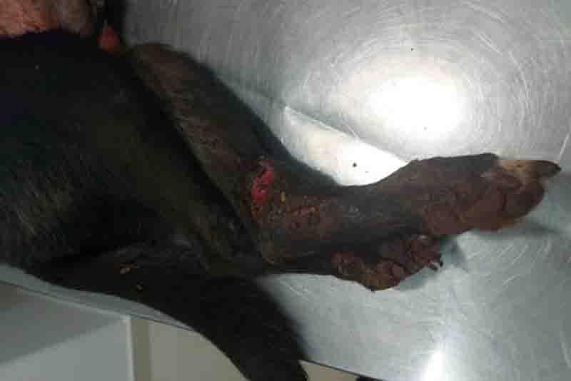 Cadela é esfaqueada por filho do tutor em Paranavaí, PR