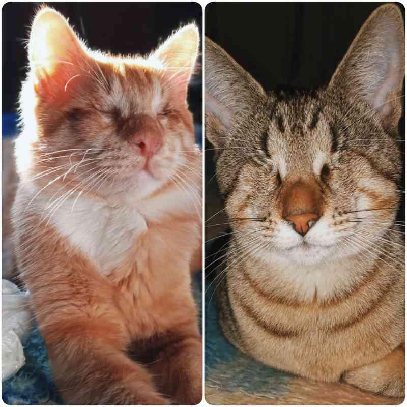 Gatos perderam os olhos devido a infecção grave.