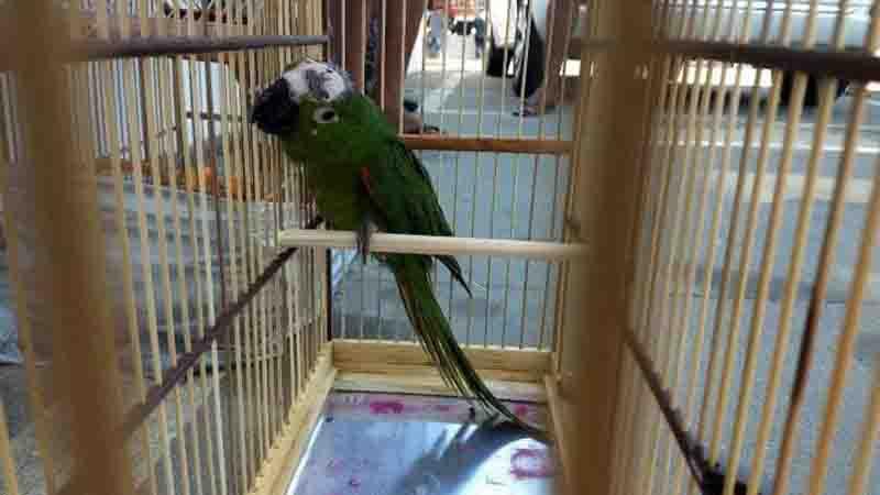 Pássaros com sinais de maus tratos eram comercializados na feira de Duque de Caxias, na Baixada Fluminense. Foto: Divulgação/DPMA