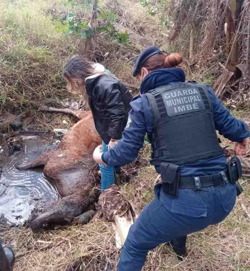 Maus-tratos: Guarda Municipal resgata cavalo atolado, cercado de lixo e madeiras com pregos em Imbé, RS
