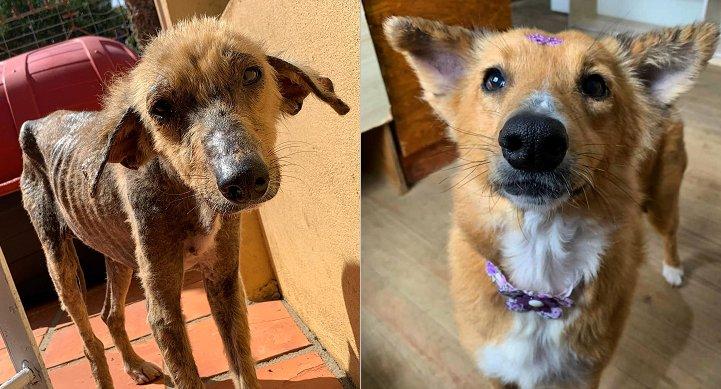 Antes e depois: cadela encontrada desnutrida e machucada em São Sepé (RS) está recuperada