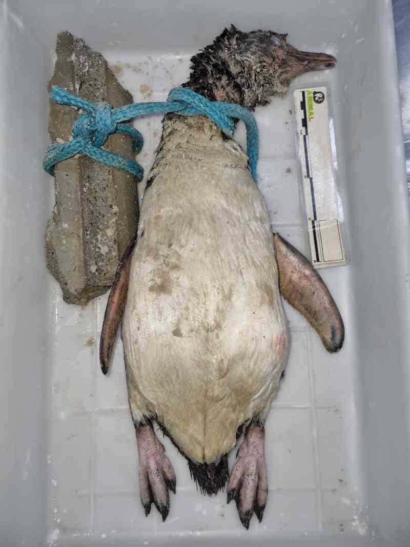 Dois pinguins são encontrados mortos com 'sinais de crueldade' em Florianópolis, SC