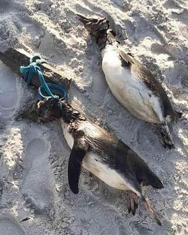 Dois pinguins-de-Magalhães mortos na areia da Praia de Canasvieiras, em Florianópolis. — Foto: Mari Garcia/Arquivo pessoal