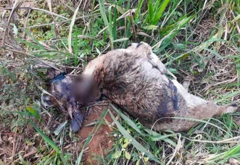 Animais são encontrados amordaçados e degolados em possível ritual às margens da BR-282, em SC