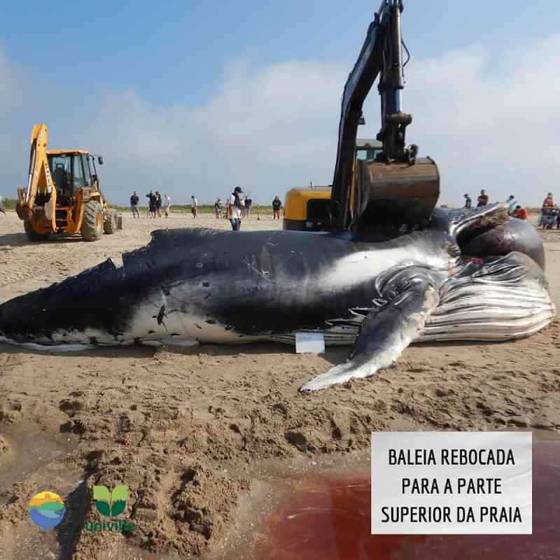 Baleia foi rebocada até a parte superior da praia - PMP/BS-Univille