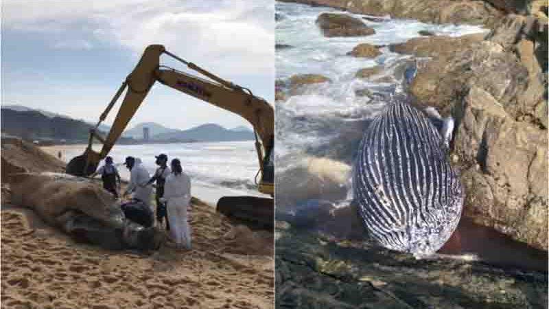 Antes de encalhar em Itapema, animal foi visto em Balneário Camboriú. Foto: PMP e Vinicius Ribeiro Amaral, Especial